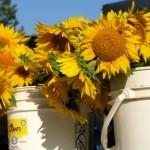 Sunflower bunches